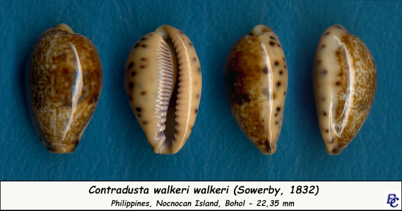 Contradusta walkeri walkeri - (Sowerby I, 1832) Walker11
