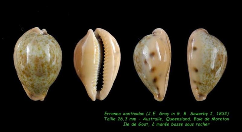Erronea xanthodon - (J.E. Gray in G. B. Sowerby I, 1832) Xantho11