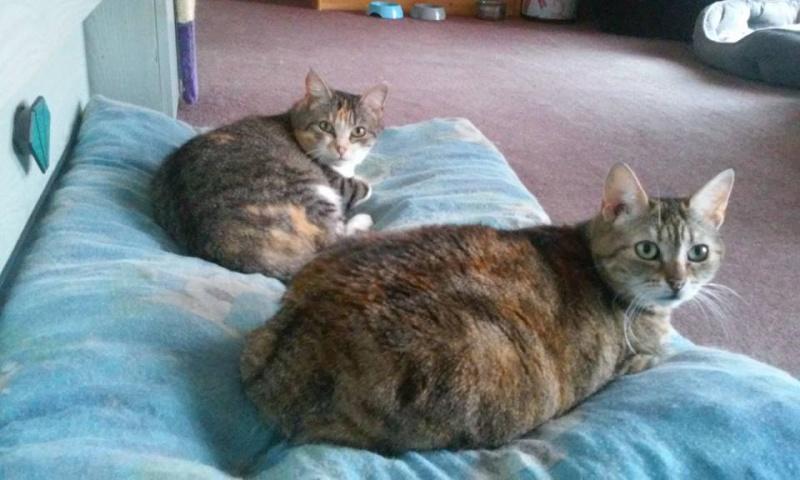Ava tricolore et Amber tricolore et blanche - nées en 2011 e 13346910