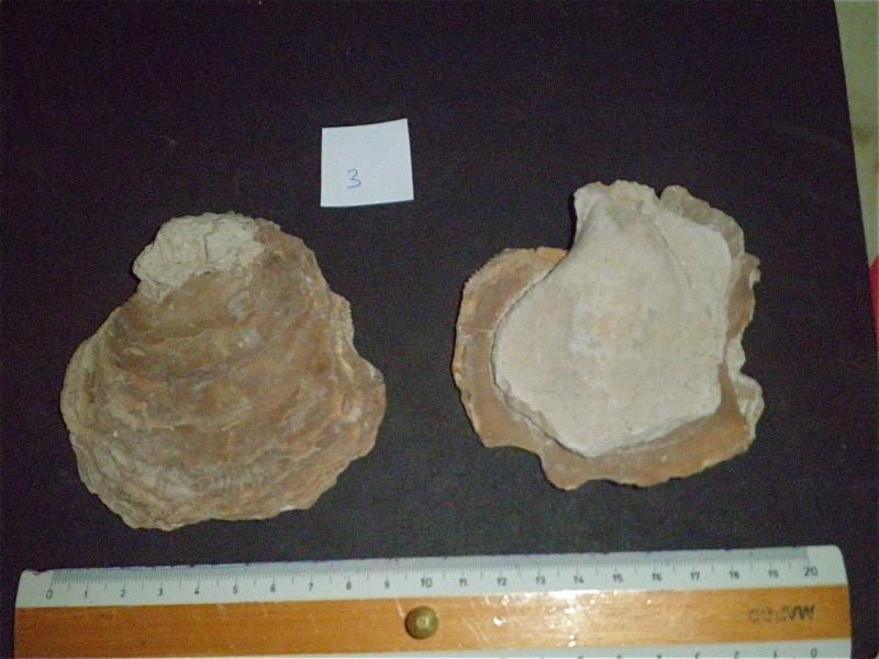 Huîtres et microfossiles charentais  P3221910