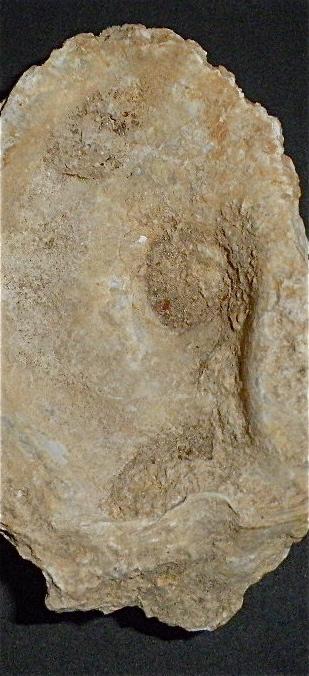 Huîtres et microfossiles charentais  P3302020