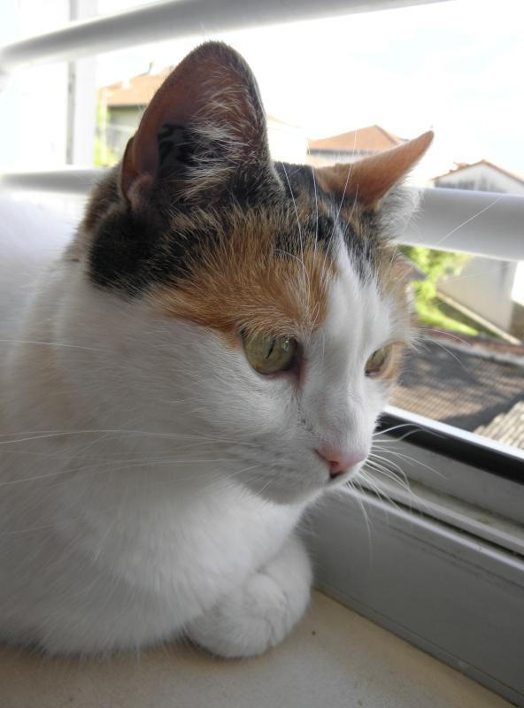Havana, rebaptisée Chihiro, jolie tricolre environ 2 ans du côté de Limoges - Page 5 P1012029