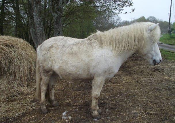APACHE - ONC poney typé Shetland né en 1997- adopté en juillet 2015 par Claire 1115