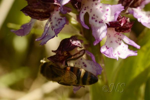 Orchis purpurea et abeille Ns_orc10