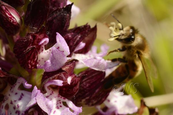 Orchis purpurea et abeille Ns_orc11
