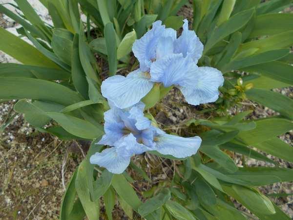 Blue..........bleu !!! - Page 2 Fleurb10