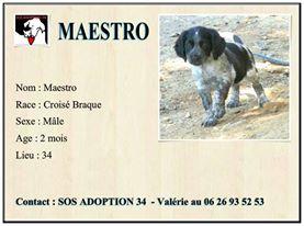 MAESTRO à l'adoption 13043310