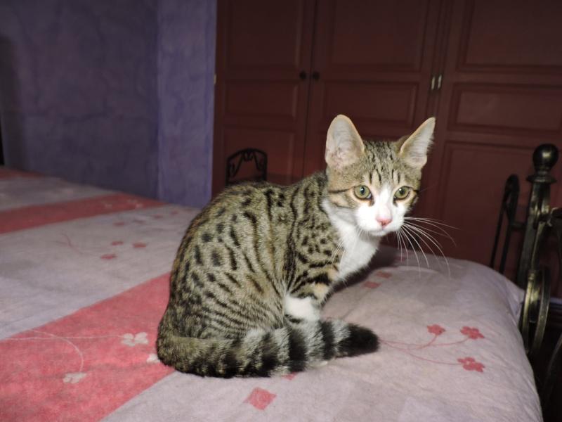 Trouvé chaton tigré+blanc allée de Belle Ile Dscn0610