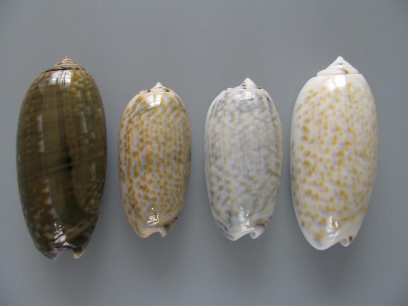 Viduoliva tricolor (Lamarck, 1811) Img_8110