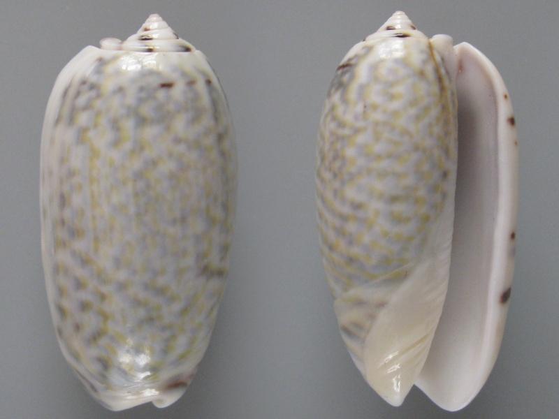 Viduoliva tricolor (Lamarck, 1811) Img_8111