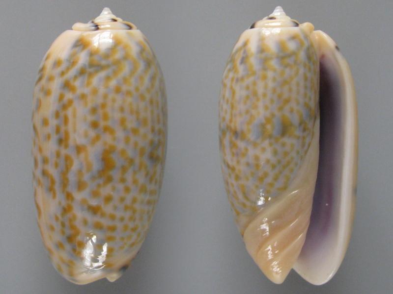 Viduoliva tricolor (Lamarck, 1811) Img_8112