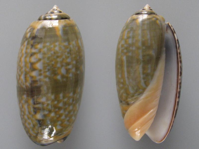 Viduoliva tricolor (Lamarck, 1811) Img_8113