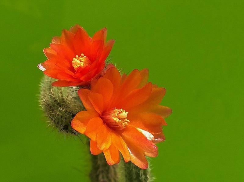 Corryocactus erectus Corryo11