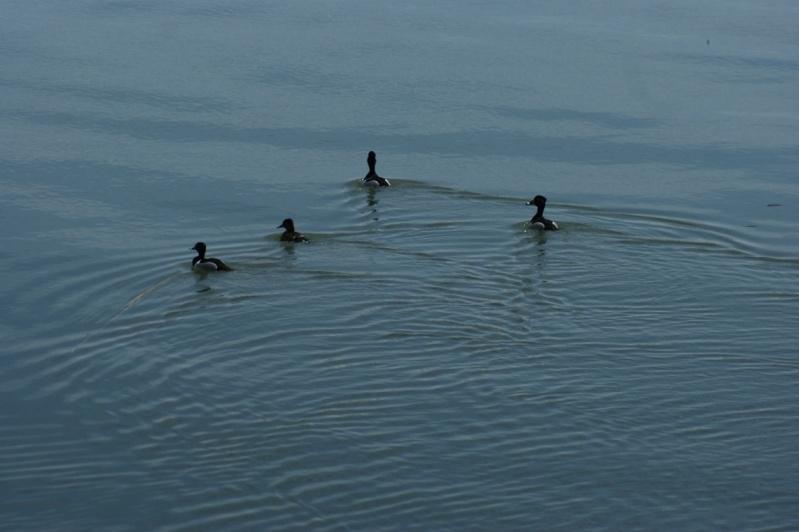 Un pic et des aquatiques... Parc_n14