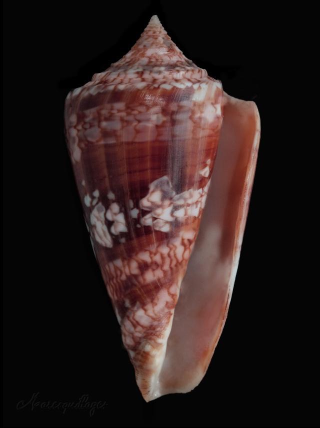 Conus (Leptoconus) castaneofasciatus  Dautzenberg, 1937 - Page 3 Conus_10