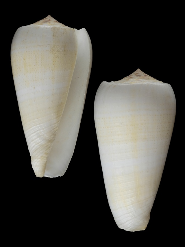 Conus (Pionoconus) raphanus (Hwass in Bruguière, 1792) voir Conus (P.) magus Conus_11