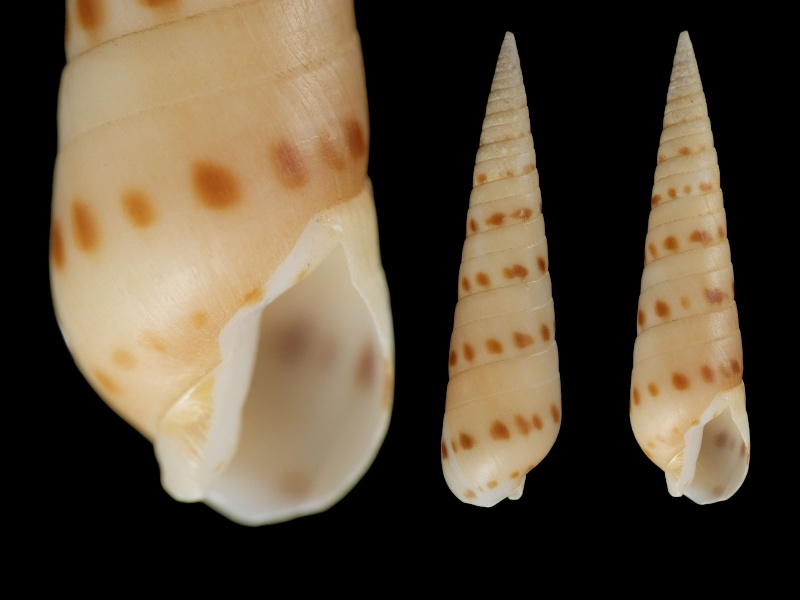 Oxymeris felina - (Dillwyn, 1817)  Terebr10