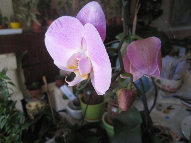 orchidée 01310