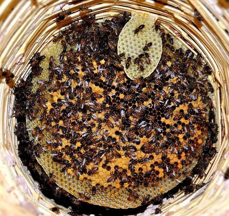 Les auxiliaires du jardinier : l'abeille noire (Apis mellifera mellifera) Dsc_1511