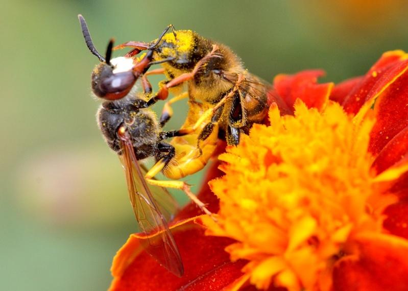Les auxiliaires du jardinier : l'abeille noire (Apis mellifera mellifera) Dsc_4711