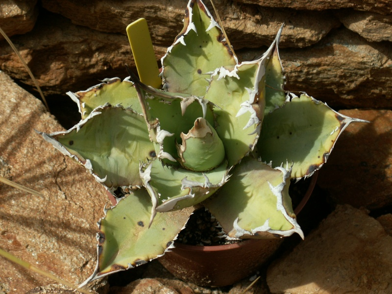 Agave titanota (n°4-Cugan) [identification] Pict6212