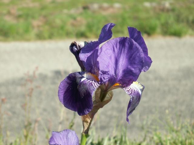 Iris germanica ou 'Jean Chevreau' ? - Cugan [identification non terminée] Pict6318