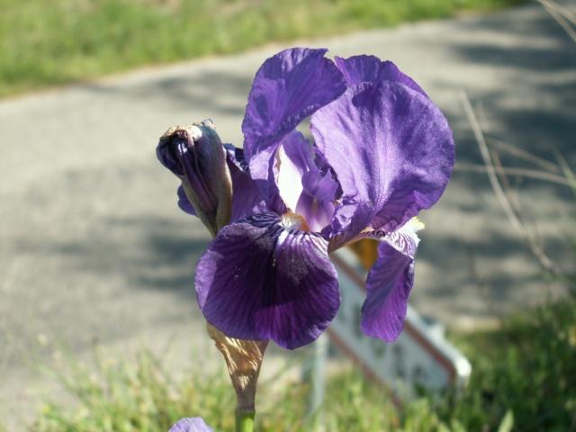 Iris germanica ou 'Jean Chevreau' ? - Cugan [identification non terminée] Pict6319