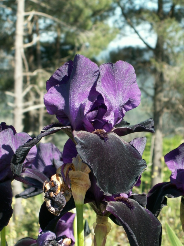 Iris noir-violet 2 de Cugan - Iris 'Black Swan'  Pict6412