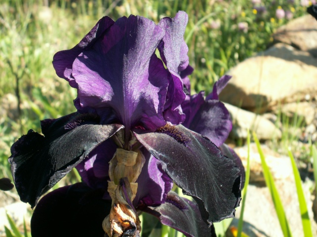 Iris noir-violet 2 de Cugan - Iris 'Black Swan'  Pict6413