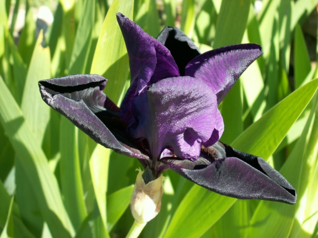 Iris noir-violet 2 de Cugan - Iris 'Black Swan'  Pict6414