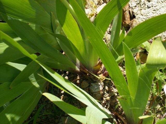 Iris noir-violet 2 de Cugan - Iris 'Black Swan'  Pict6415