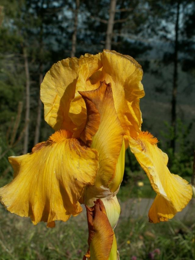 'Taste of Honey' (5 Cugan) [identification] Pict6427