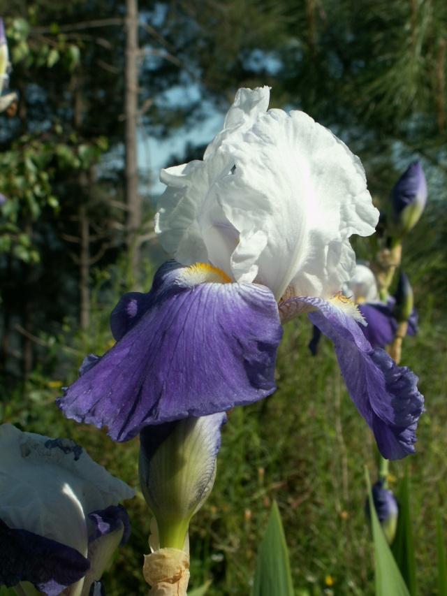 Iris 'Arpege' - Schreiner 1966 Pict6431