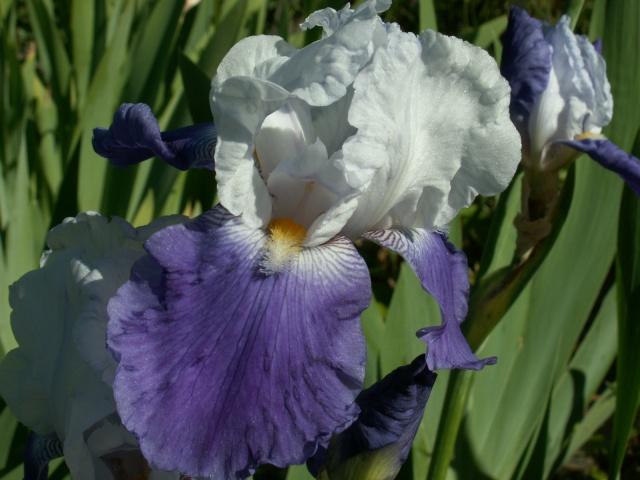Iris 'Arpege' - Schreiner 1966 Pict6432