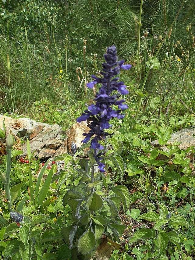 Salvia 'Mystic Spires Blue'  [identification] Pict6512