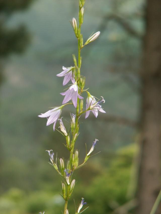 flore des Cévennes Pict6515