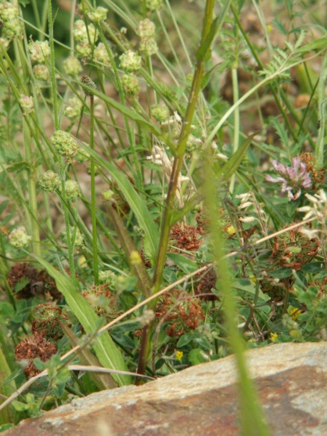 flore des Cévennes Pict6516
