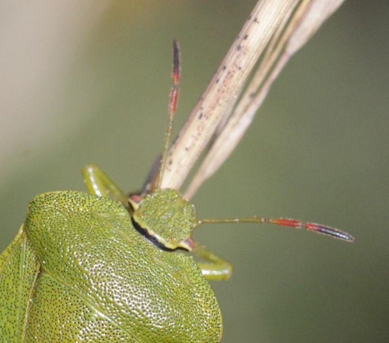 [Palomena viridissima] Palomena viridissima à confirmer Le_tos11