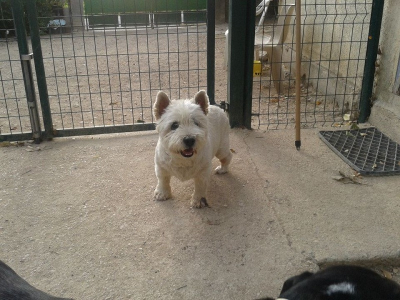 WESTIE A L'ADOPTION 12 ANS  West10