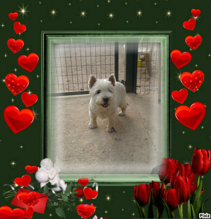 WESTIE A L'ADOPTION 12 ANS  West_110