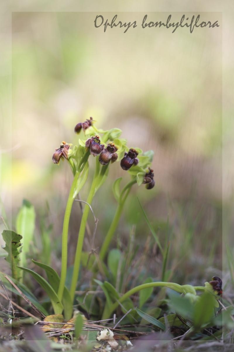 Ophrys bombyliflora ( Ophrys bombyx ) Img_0411