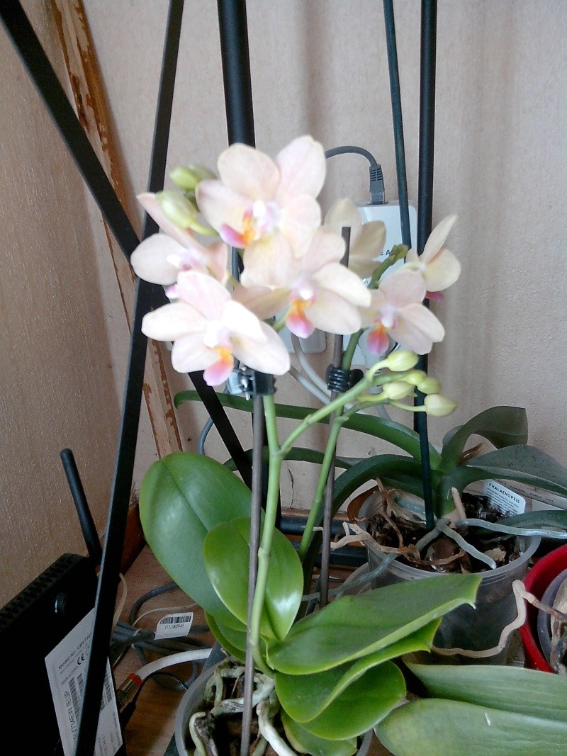 Phalaenopsis nouveau venu Img_2012