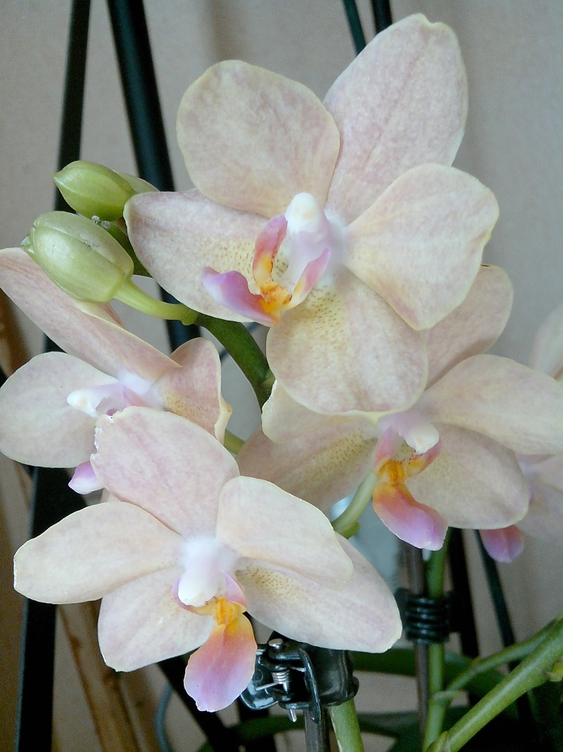 Phalaenopsis nouveau venu Img_2013