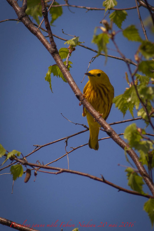 Paruline jaune _mg_0911