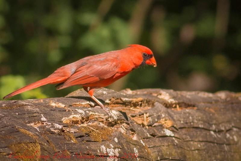 Cardinal rouge _mg_1210