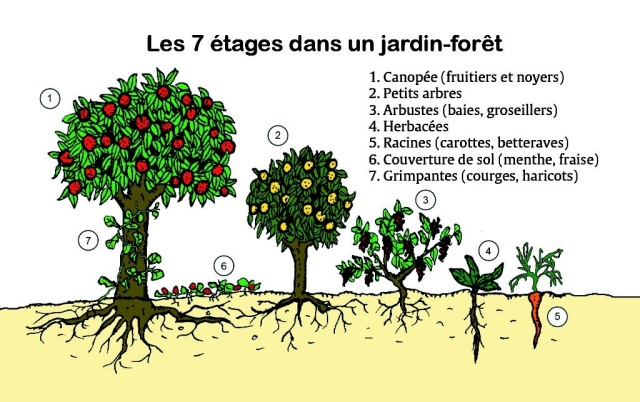 Liste des plantes pour faire une forêt comestible Image226