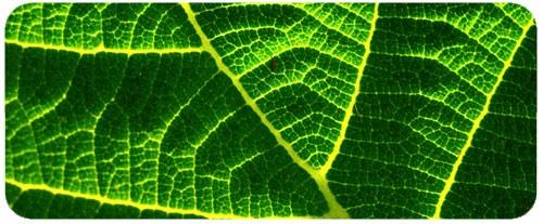 La chlorophylle et ses bienfaits Image59