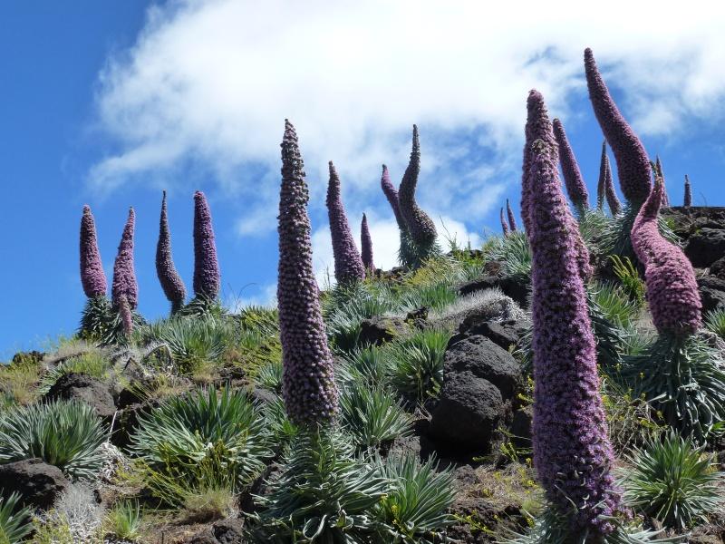 Echium wildpretii - Seite 6 P1050811