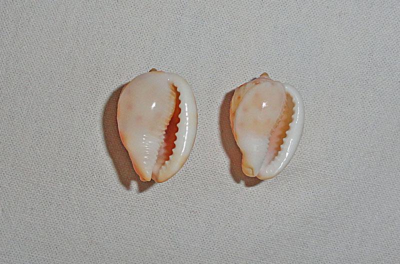 Petit cassidae du Gabon a identifier ?  Cypraecassis testiculus senegalica Cassis11