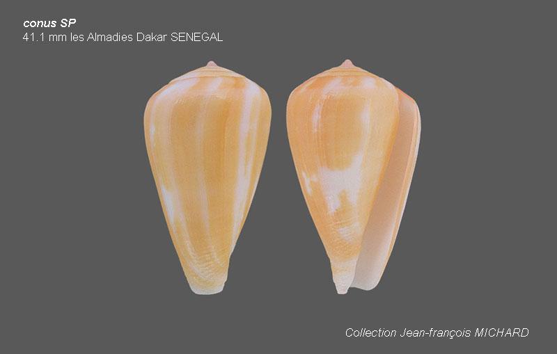 Conus SP. Sénégalais, les Almadies         Avis de Christophe ROUX demandé Conus_10